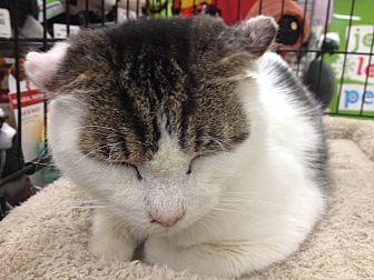 Domestic Shorthair Cat for adoption in New york, New York - Alex