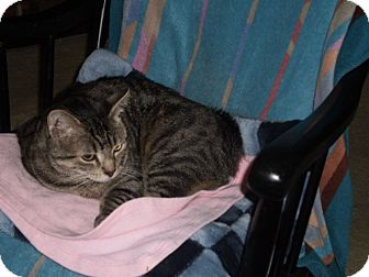 American Shorthair Cat for adoption in Richmond, Virginia - L'il Ned