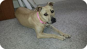 American Pit Bull Terrier Mix Dog for adoption in Winder, Georgia - *DEGA*