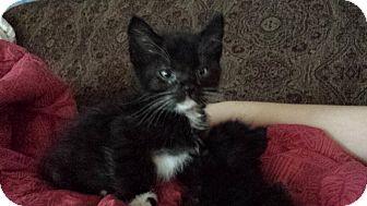 Domestic Shorthair Kitten for adoption in Cerritos, California - Poe
