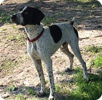 Florida German Shorthaired Pointer Rescue Adoptions | Dog Breeds ...