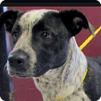 Adopt A Pet :: Danny-Low Fees: neutered - Red Bluff, CA