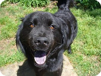 Flat-Coated Retriever Mix Dog for adoption in Atlanta, Georgia - Jackson