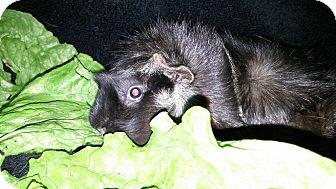 Guinea Pig for adoption in Aurora, Colorado - Buffalo