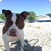 Pit Bull Terrier Dog for adoption in Berea, Ohio - Luxe