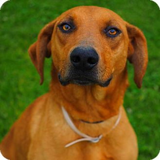 Hound (Unknown Type) Mix Dog for adoption in Washburn, Missouri - Broccoli