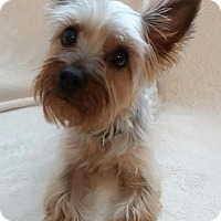 Adopt A Pet :: Shyla-Adoption pending - Bridgeton, MO