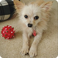 Adopt A Pet :: Tinsel - conroe, TX