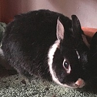 Netherland Dwarf for adoption in Miami, Florida - Merlin