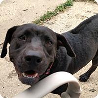Adopt A Pet :: Charlie Girl - LANSING, MI