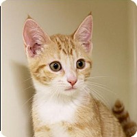 Domestic Shorthair Kitten for adoption in Red Bluff, California - Paisley