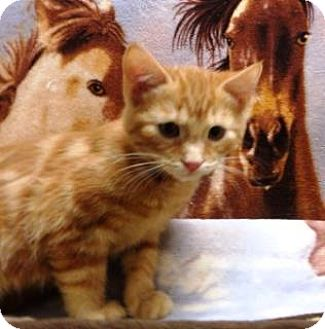 Domestic Shorthair Kitten for adoption in Apple Valley, California - Lewis # 161246