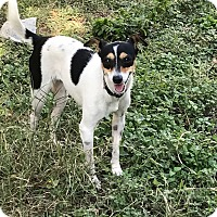Rat Terrier Mix Dog for adoption in Austin, Texas - Cupcake