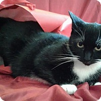 Domestic Shorthair Cat for adoption in Attalla, Alabama - Daisy