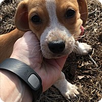 Adopt A Pet :: Baby Andromeda - Rockville, MD