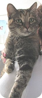 Domestic Shorthair Cat for adoption in Tombstone, Arizona - Polly