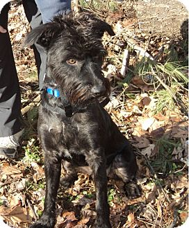Scottie, Scottish Terrier/Terrier (Unknown Type, Medium) Mix Dog for adoption in Madison, New Jersey - Sherlock