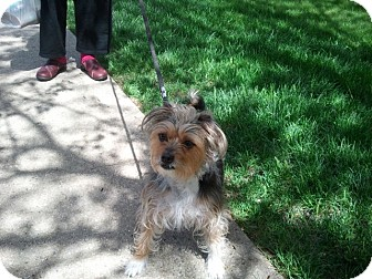 Yorkie, Yorkshire Terrier Mix Dog for adoption in Hollis, Maine - Bonnie