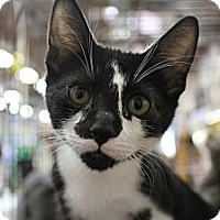 Adopt A Pet :: Domino - Santa Monica, CA