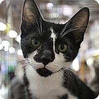 Adopt A Pet :: Domino - Santa Monica, CA
