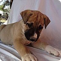 Adopt A Pet :: Emma's Cyrano - Las Vegas, NV
