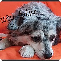 Adopt A Pet :: Misty Blue - Escondido, CA