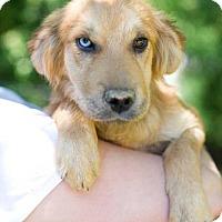 Adopt A Pet :: Celia - Huntsville, AL