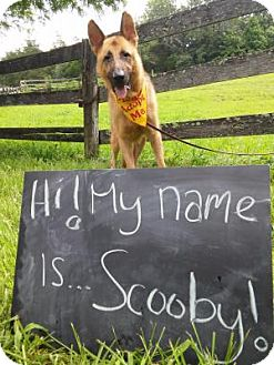German Shepherd Dog Dog for adoption in Louisville, Kentucky - Scooby