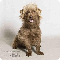 Adopt A Pet :: Fozzie - Beverly Hills, CA