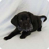 Adopt A Pet :: Brink - Groton, MA