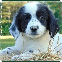 Adopt A Pet :: Trinity-Adoption Pending - Marlborough, MA