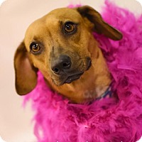 Adopt A Pet :: Callie Kipling - Houston, TX