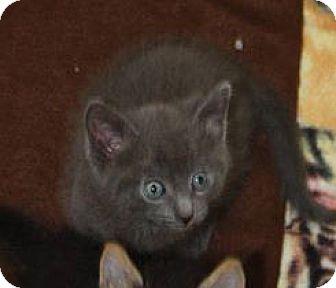 Domestic Shorthair Kitten for adoption in Washburn, Wisconsin - Koala