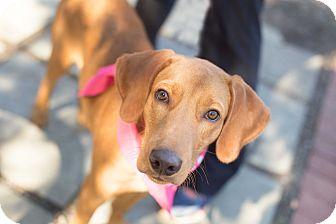 Hound (Unknown Type) Mix Puppy for adoption in Washington, D.C. - Howie