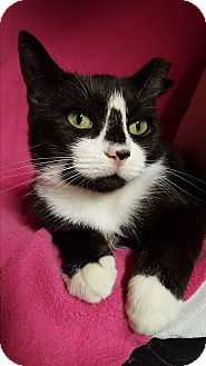 Domestic Shorthair Cat for adoption in Staten Island, New York - Lucille