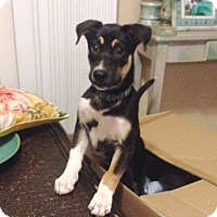 Siberian Husky/Border Collie Mix Puppy for adoption in Clearwater, Florida - Monkey