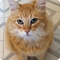 Domestic Mediumhair Cat for adoption in Longview, Washington - Buddy