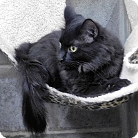 Domestic Longhair Cat for adoption in Montgomery City, Missouri - Vampirella