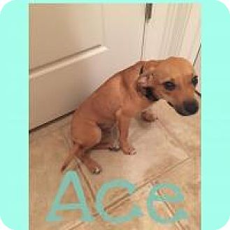 Chihuahua/Dachshund Mix Dog for adoption in Walker, Louisiana - Ace