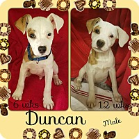Adopt A Pet :: Duncan-pending adoption - Manchester, CT