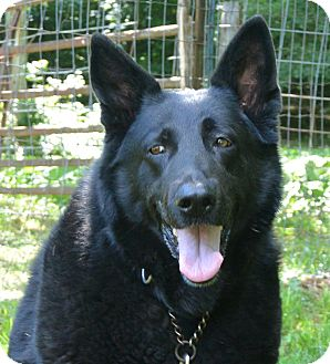 German Shepherd Dog Dog for adoption in Afton, New York - Nova & Jake