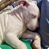 Adopt A Pet :: Storm - Cranston, RI
