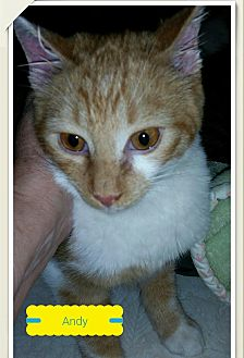 Domestic Shorthair Kitten for adoption in MADISON, Ohio - Andy