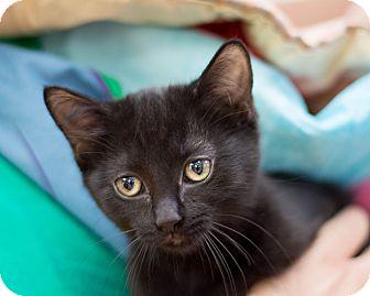 Domestic Shorthair Kitten for adoption in Fountain Hills, Arizona - Christina