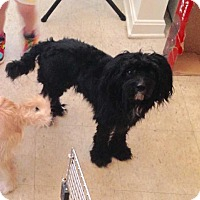 Standard Schnauzer/Poodle (Standard) Mix Dog for adoption in Georgetown, Kentucky - Delilah