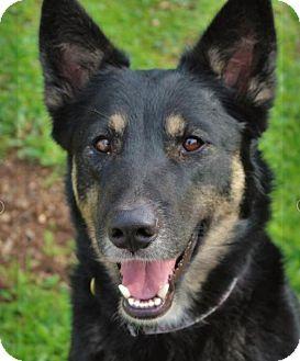 German Shepherd Dog/Husky Mix Dog for adoption in Red Bluff, California - PHOEBE
