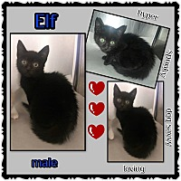 Adopt A Pet :: Elf - Richmond, CA