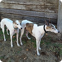 Greyhound Dog for adoption in Cottonwood, Arizona - Yogi (Wild Wooly Bully)