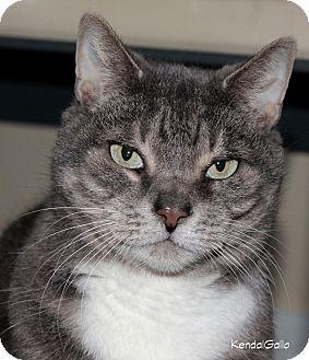 American Shorthair Cat for adoption in Saranac Lake, New York - Libby