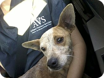 Whippet/Chihuahua Mix Dog for adoption in Gainesville, Florida - Ava